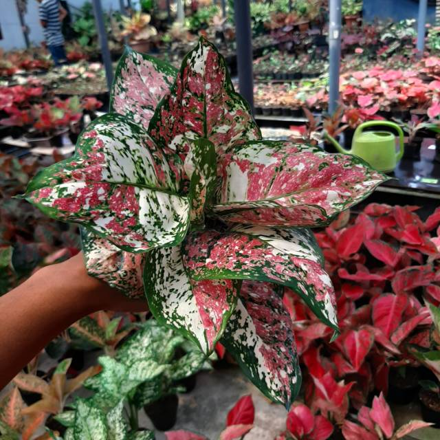 Tanaman Hias Aglaonema Aglonema Thailand Jenis Dud 3 Colour Aglonema Dud 3 Color Shopee Indonesia