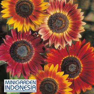 3 Benih Sunflower evening sun F1 Mr Fothergills Bibit tanaman bunga matahari
