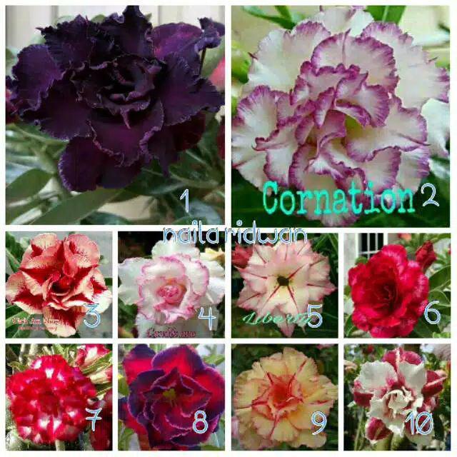 Bunga Kamboja Jepang Terbaru Shopee Indonesia