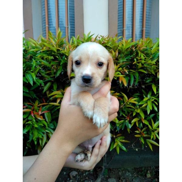 anjing golden mix beagle