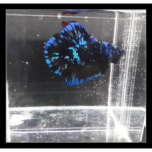Ready Ikan Cupang Avatar Indukan