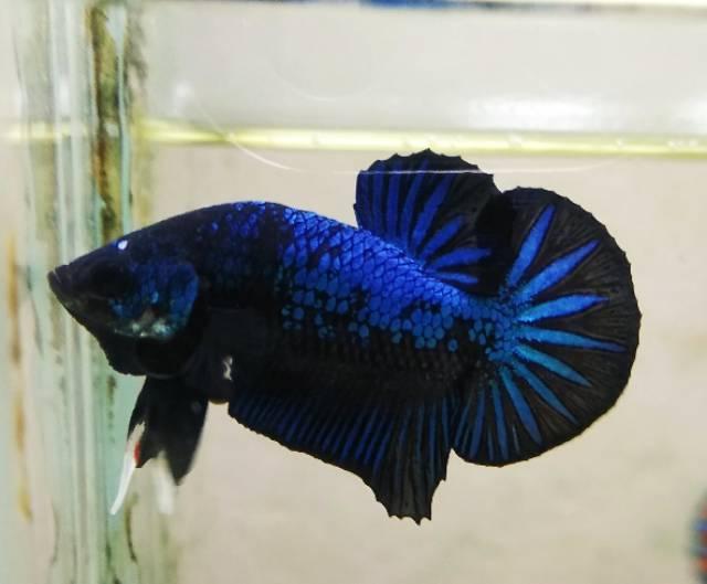 Ikan Cupang Plakat Avatar Gordon Shopee Indonesia