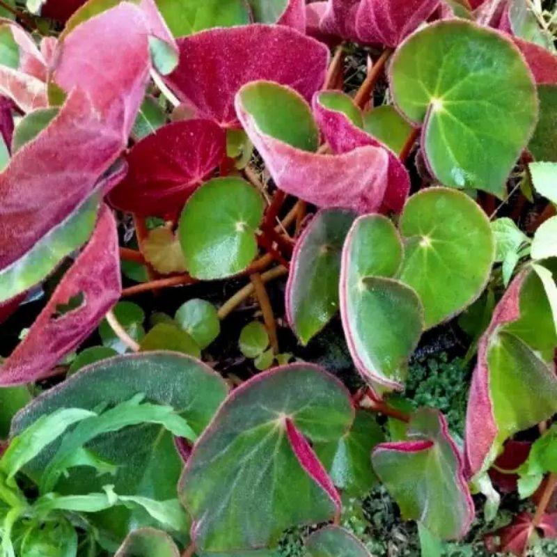 Tanaman hias begonia karpet atau begonia bludru,