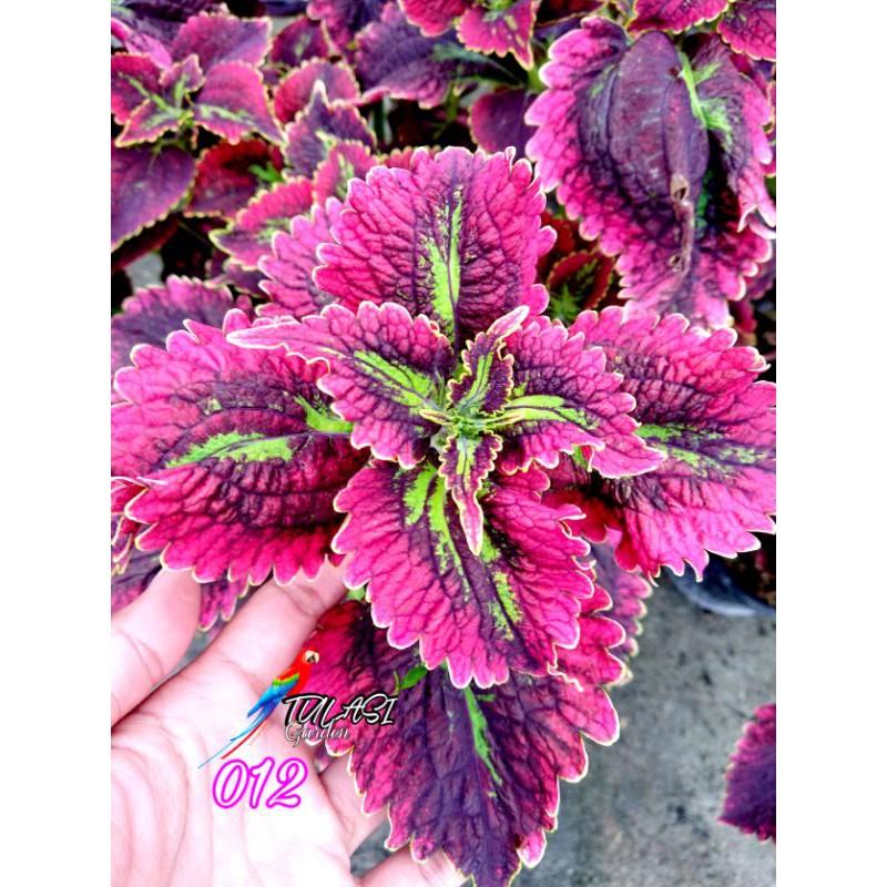 Miana / Miana Premium / Coleus / 012 / Herbal Miana