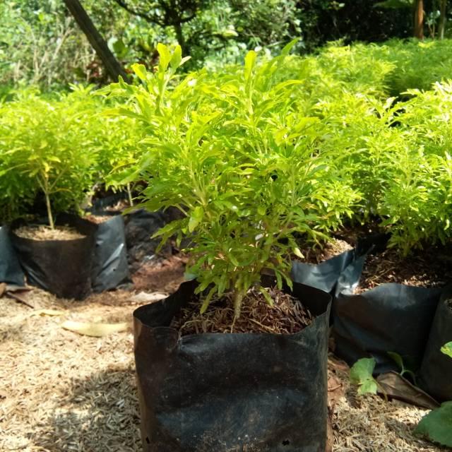 Tanaman Hias Brokoli Kuning Pohon Brokoli Kuning Tanaman Brokoli Kuning Shopee Indonesia