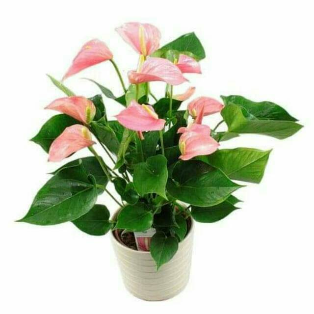 Tanaman Hias Pot Indoor Anthurium Bunga Pink Explosion Tanaman Hias Indoor Di Dalam Ruangan Shopee Indonesia