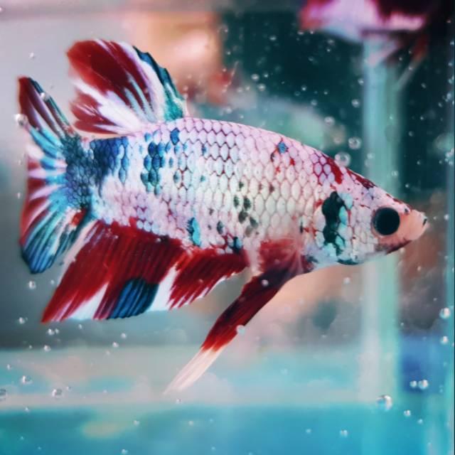 Cupang Plakat White Multicolor Bettafish Bettaindfams Shopee Indonesia