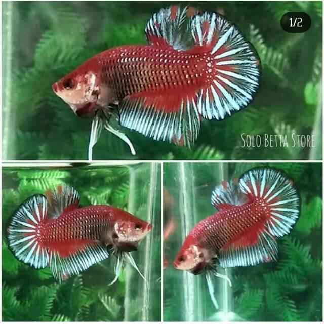 Ikan Cupang Red Fancy Shopee Indonesia