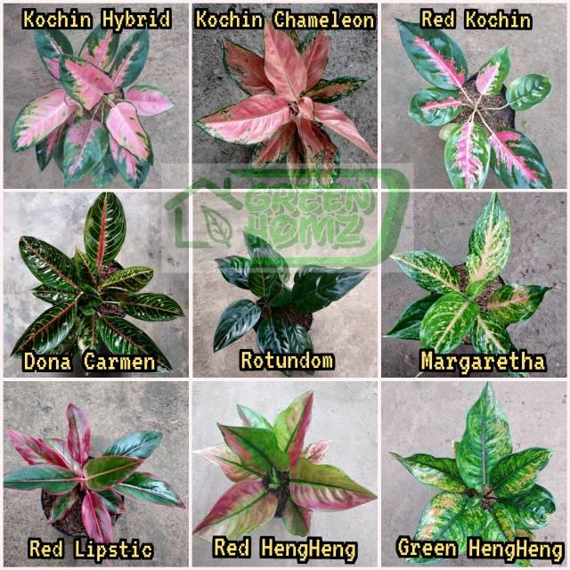 Berisi 9 Jenis Tanaman Bunga Cantik Bunga Aglaonema Shopee Indonesia