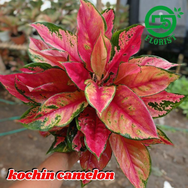 Aglonema kocin camelon indukan aglonema red kocin tanaman hias aglonema tanaman aglonema