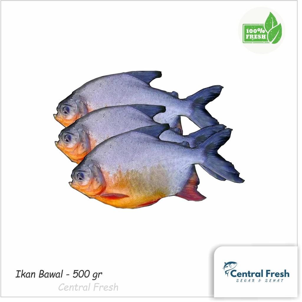 Ikan Bawal Air Tawar Fresh Segar 1000gr Shopee Indonesia