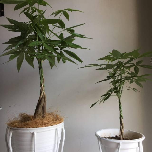 Tanaman Hias Pacira Kepang 3 Batang Money Tree Shopee Indonesia