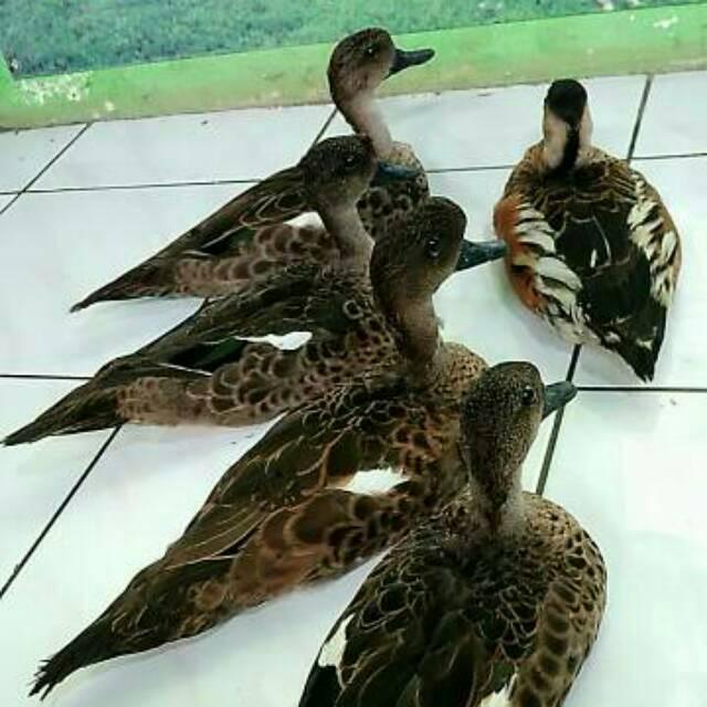 Paling Populer 21 Gambar Burung Belibis Gani Gambar