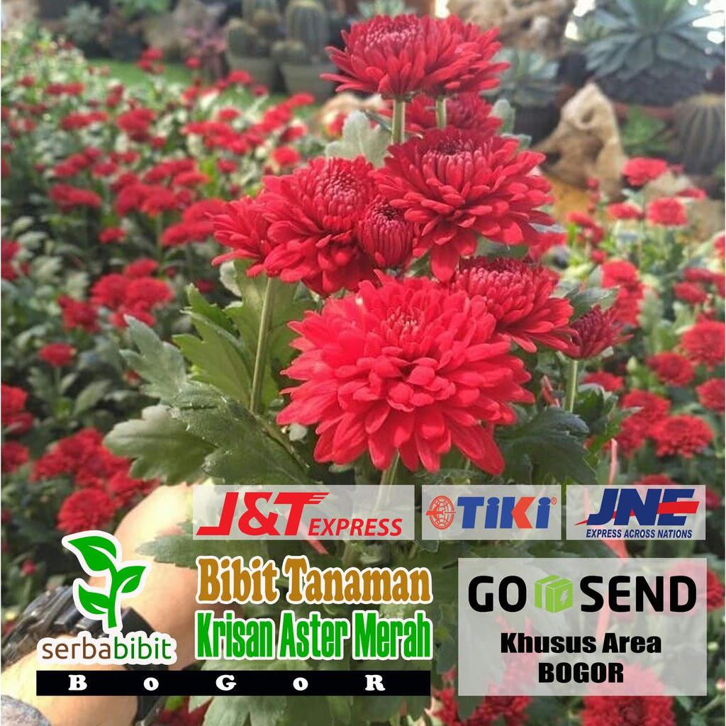 Tanaman Bunga Krisan Aster Merah Seruni Bibit Pohon Hias Semi Indoor Shopee Indonesia