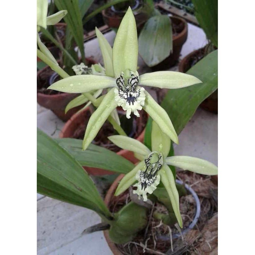 Bunga Anggrek Hitam Kalimantan Coelogyne Pandurata Bulp Unik Membulat Shopee Indonesia