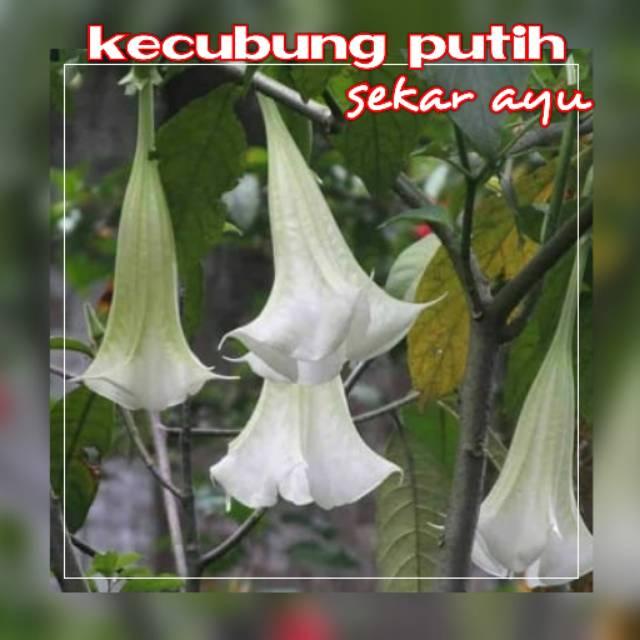 Tanaman Bunga Hias Kecubung Putih Shopee Indonesia