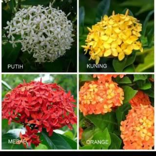 Tanaman Bunga Asoka Shopee Indonesia