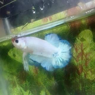 BETTA FISH PLAKAT BLUE RIM MALE HIASAN AQUARIUM MURAH IKAN ...