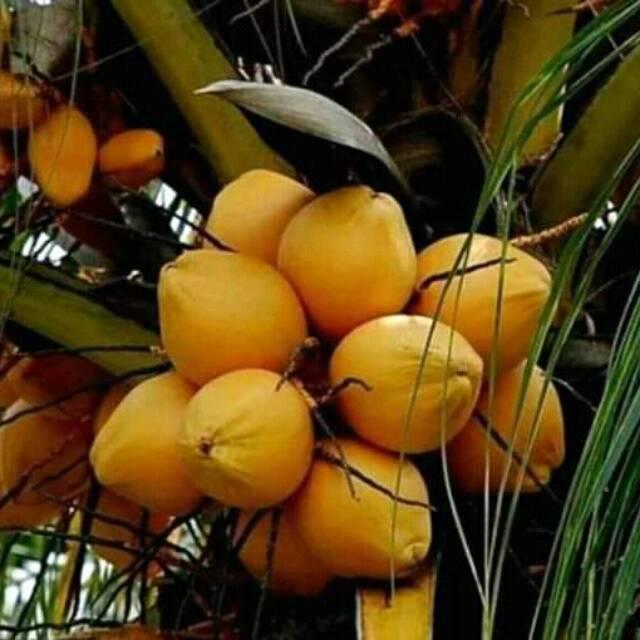 Jenis Buah Kelapa Kuning