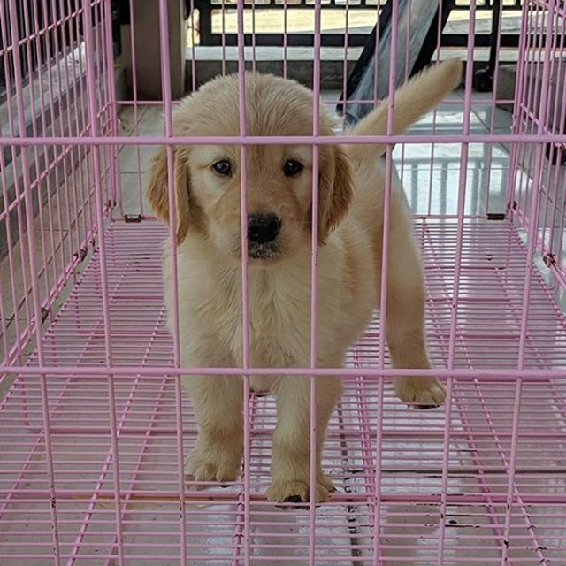 38+ Harga anjing jawa terbaru