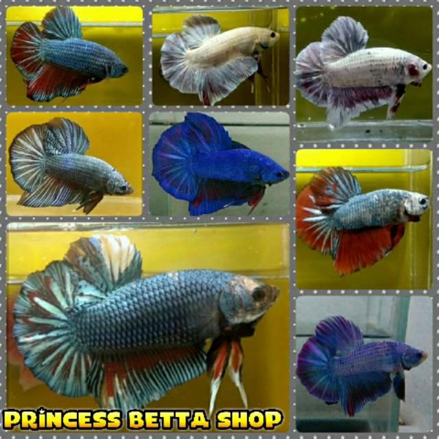Ikan Cupang Plakat Giant Line Avatar Gordon Shopee Indonesia