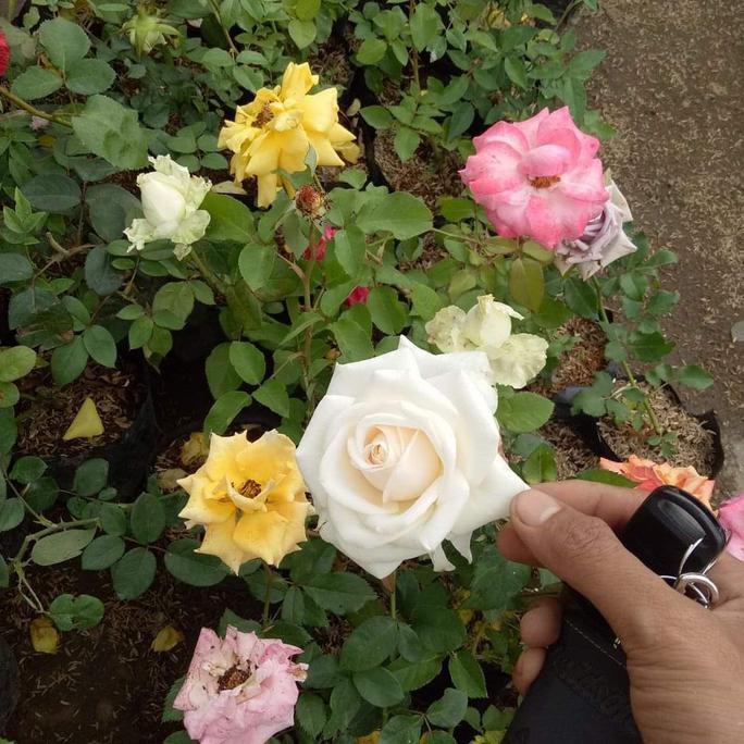 Jual Bibit Bunga Mawar Holland Besar Shopee Indonesia