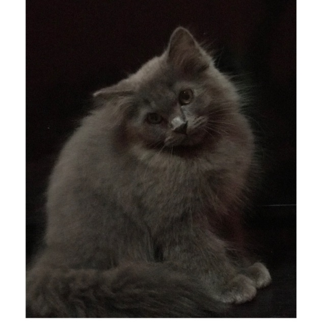 Kitten Persia Abu Abu Betina Dan Jantan Shopee Indonesia