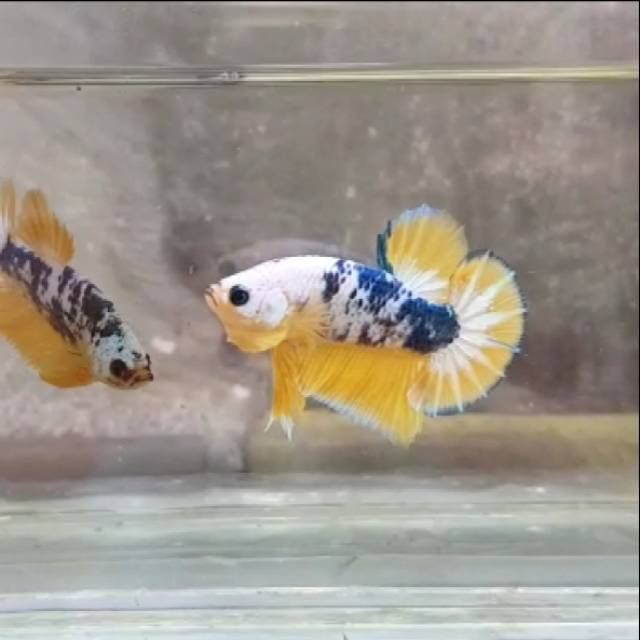 Ikan Cupang Yellow Fancy Shopee Indonesia