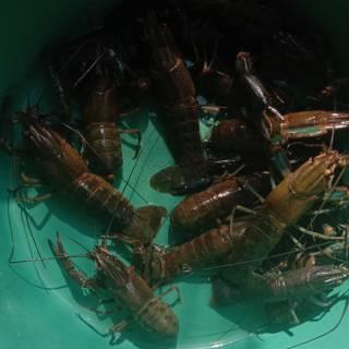 Pedoman Budidaya Lobster Air Tawar Shopee Indonesia
