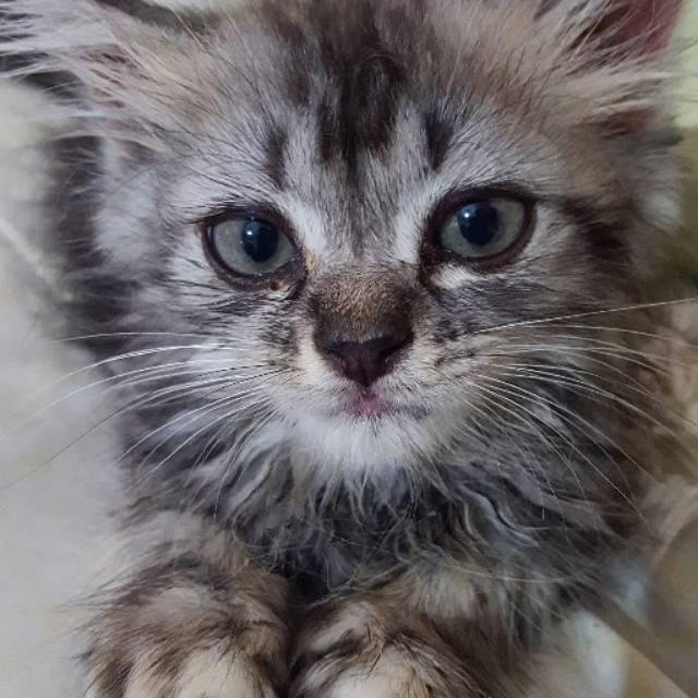 Sold Out Kucing Persia Mix Anggora Medium Shopee Indonesia