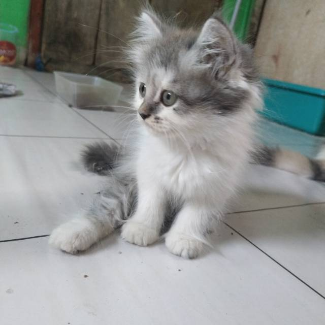 Kucing Persia Medium Putih Abu Shopee Indonesia