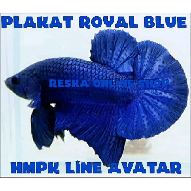 Ikan Cupang Plakat Royal Blue Line Avatar Shopee Indonesia