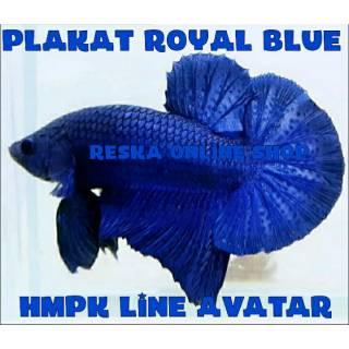 Ikan Cupang BBL Series Royal Blue Line Avatar   Shopee ...