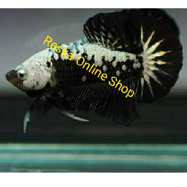 Ikan Cupang Black Samurai Shopee Indonesia
