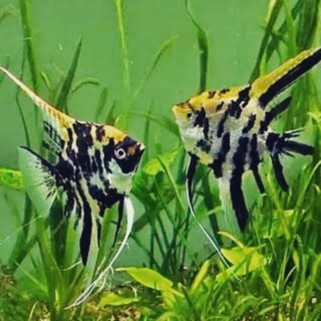 Ikan Manfish 3 Color Angel Fish Manfish Three Colour Menfis Indukan Manfish 3 Colour Size Big Shopee Indonesia