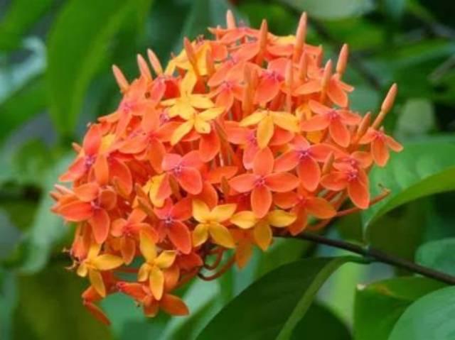Benih Biji Bunga Asoka Orange Shopee Indonesia