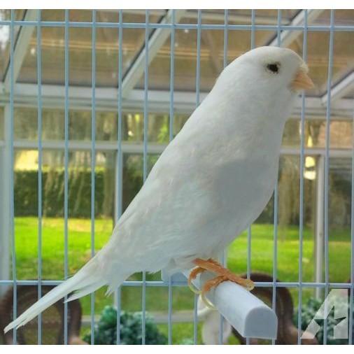 Jual Burung Kenari Putih Garansi Jantan Seumur Hidup Banyak Pilihan Shopee Indonesia