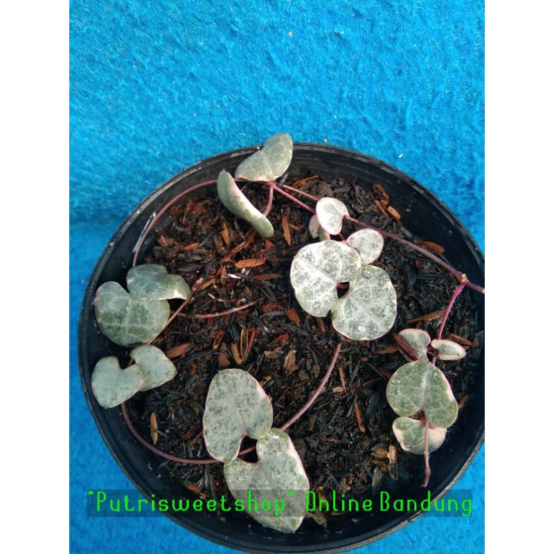 string of heart variegata