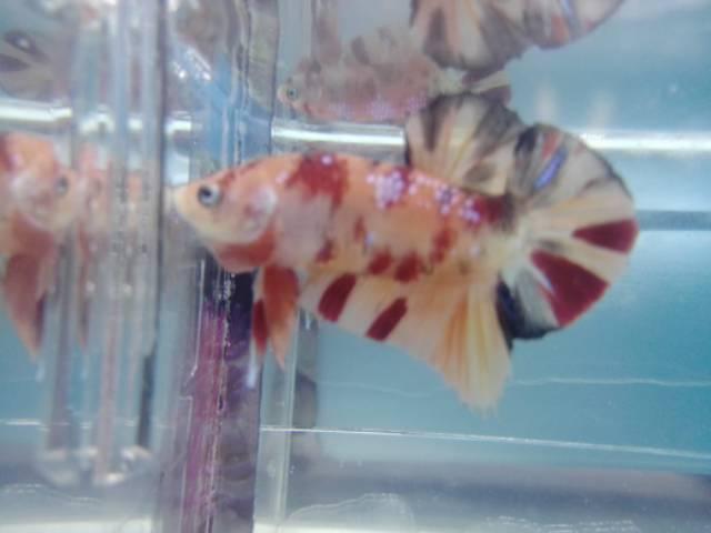 Ikan Cupang Gient Nemo Tiger Galaxy Bo 4 3 Cm Shopee Indonesia