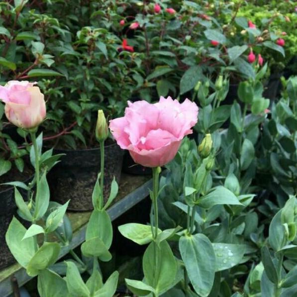 Pesan Sekarang Tanaman Hidup Bunga Lisiantus Japanese Rose Mawar Tak Berduri Yv Shopee Indonesia