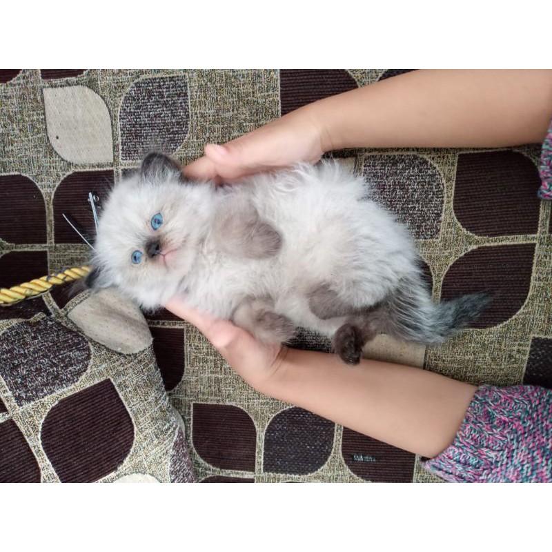 Terjual Kucing Persia Himalaya Lucu Shopee Indonesia