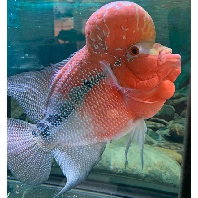 Promo Burayak Ikan Louhan Srd Gen Ori Size 2 3 Cm Up Beli 3 Gratis 1 Shopee Indonesia