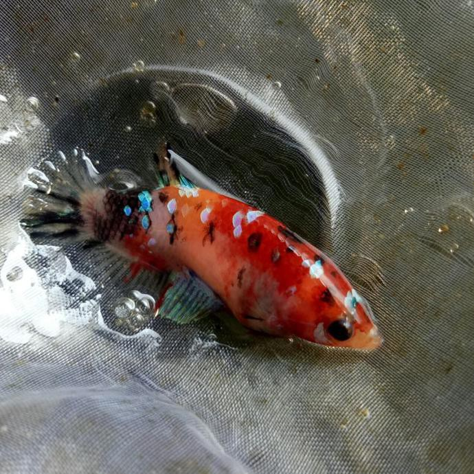 Cupang Betina Nemo Galaxy 091