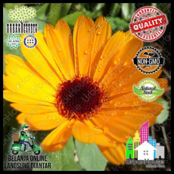 Flower Benih Bunga Calendula Nova Orange Tanaman Pot Marigold Shopee Indonesia