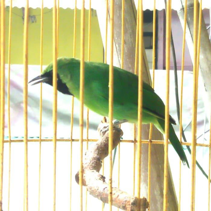 Promo Burung Cucak Ijo Mini Murah Shopee Indonesia