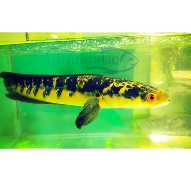 Ikan Channa Yellow Sentarum 5 6cm 4 Ekor 110rb Shopee Indonesia