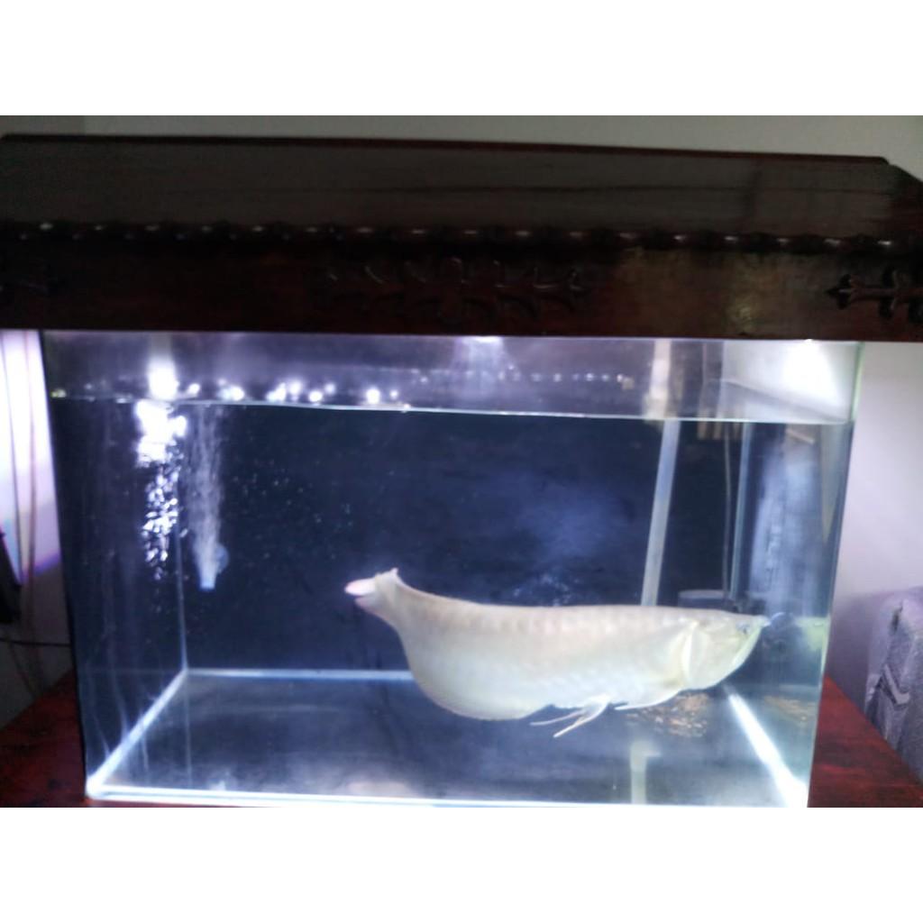 Preloved Akuarium Aquarium Second Kaca Bending/lengkung Recent AQ 107 70x38x45