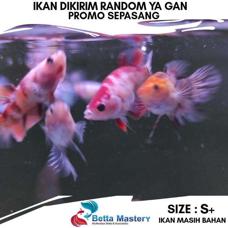 Harga Ikan Cupang Koi Terbaik Perawatan Hewan Hobi Koleksi Desember 2020 Shopee Indonesia