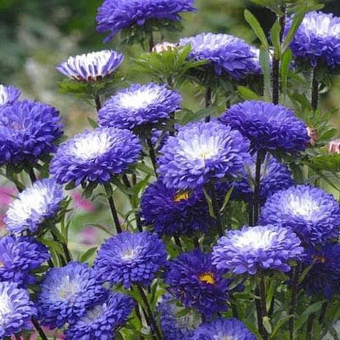 12 benih bunga aster color carpet mix F1 mr fothergills bibit tanaman | Shopee Indonesia
