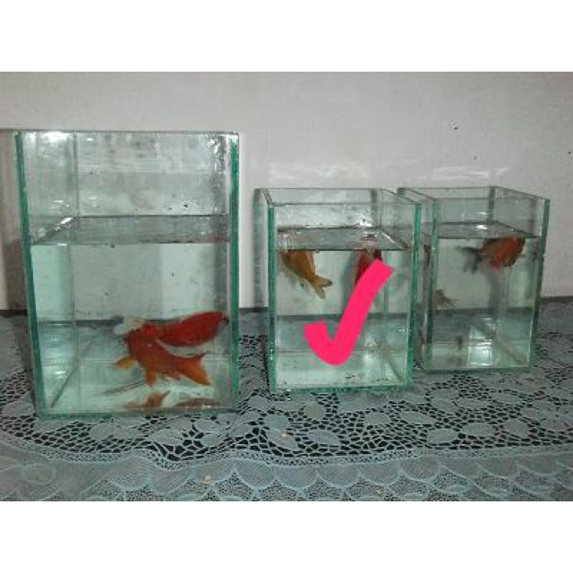 Aquarium Ikan Cupang 10x10x15